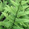 Athyrium filix-femina (3)