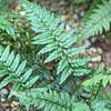 Athyrium spicatum1