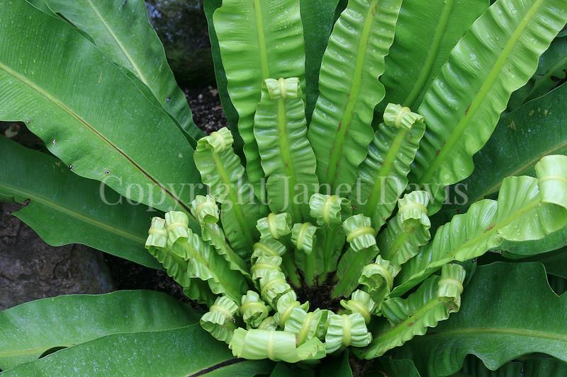 Asplenium nidus (6)