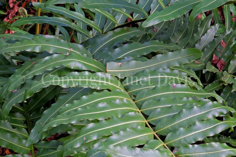 Acrostichum danaeifolium (2)