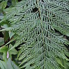 Woodwardia orientalis (1)