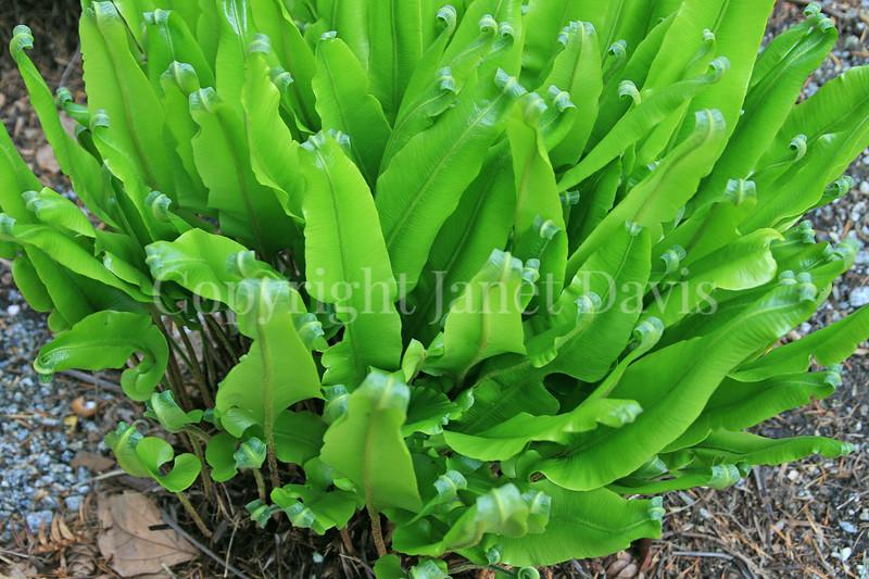 Asplenium nidus (2)