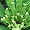 Asplenium nidus (5)