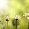 Croissance d'une pquerette, fond nature et soleil