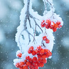 Branch of bright red mountain ash after snowfall