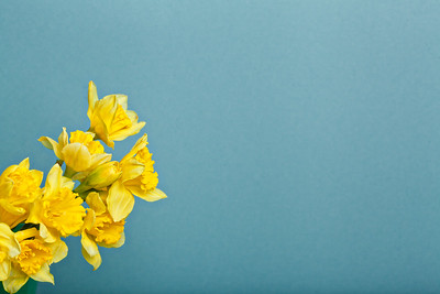 bouquet of narcissus on blue backgroung