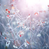 Winter nature background. Frozen branch with leaves closeup