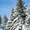 fir trees covered by snow, winter landscape