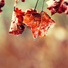Autumn winter Leaves. Frozen autumn frost cold morning ice maple leaves. Frozen autumn leaves on the branch