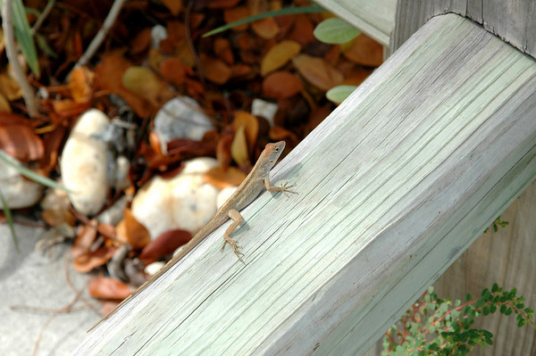 Lizard, Key Largo