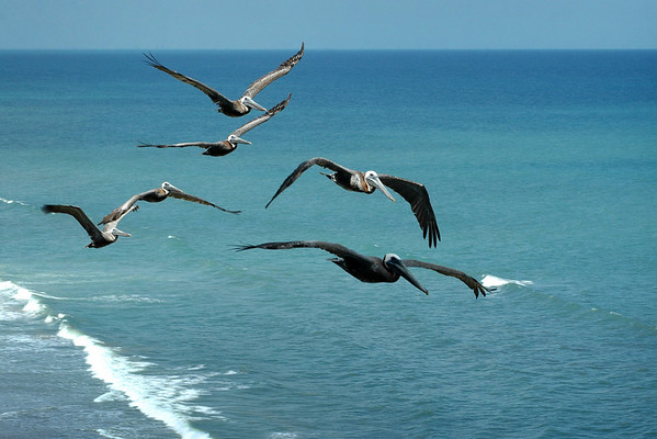 Flock of pelicans flying over Melbourne Beach, Florida