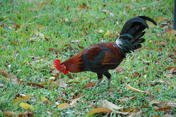 Rooster Feeding, Key West