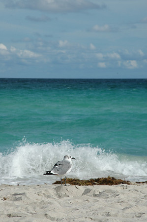 Sea Gull, South Beach, Miami