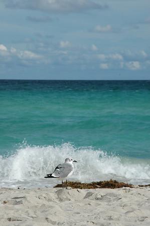 Sea Gull, South Beach, Miami
