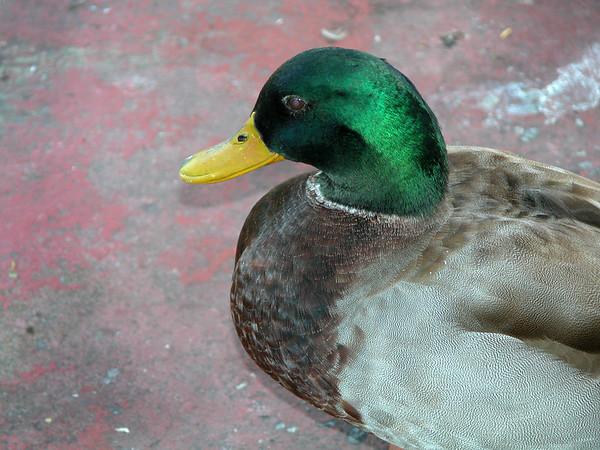 Duck ez