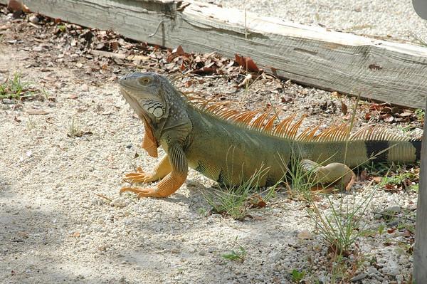 Iguana, Key Largo