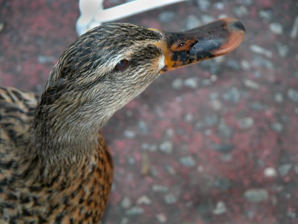 duck 2 ez