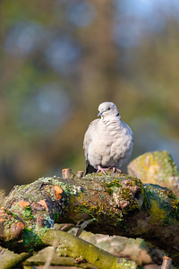 Eurasian collared dove in spring garden