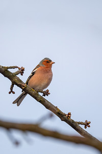 small bird, common chaffinch
