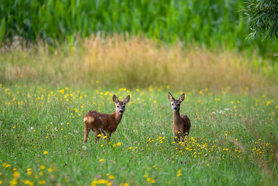 Row deer baby graze on meadow, Czech wildlife