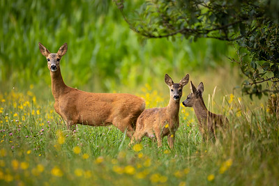 Row deer family graze on meadow, Czech wildlife