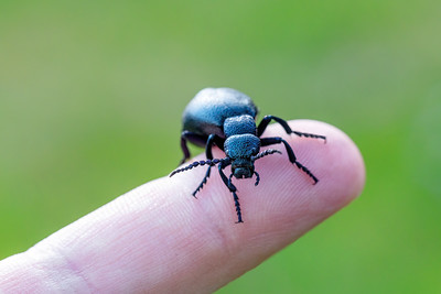 poisonous violet oil beetle on human finger