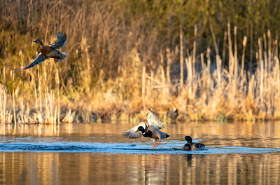 male and female Mallard Duck Flying on pond