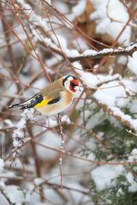 small bird European goldfinch in winter