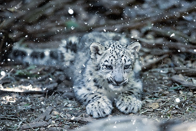 cute kitten of Snow Leopard cat, Irbis