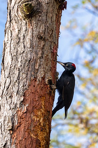 bird Black Woodpecker, Czech Republic, Europe wildlife