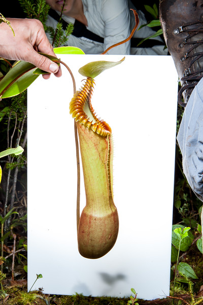 Splendid pitcher plant (Nepenthes edwardsiana) in field studio, Mount Kinabalu, Borneo, Malaysia, September.