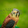 This American Kestrel is starting to turn his head around.  See the next picture...