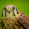 American Kestrel<br /> <br /> Their coloring is fantastic.