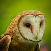 """Barn Owl""<br /> <br /> Nature Photography - Wildlife Photography - Stock Photography"