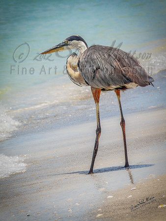 This was one of the first Great Blue Heron's I photographed.  I spent quite a while following this one around while he was looking for his next meal.  I was amazed to watch him pluck a fish out of the water .  Look closely at his left wing.  I didn't notice until I was back home but he has some sort of fishing line attached to him.