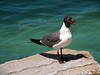 """""""Steal Your Lunch Seagull"""""""