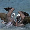 Playful pelicans in the intercoastal.