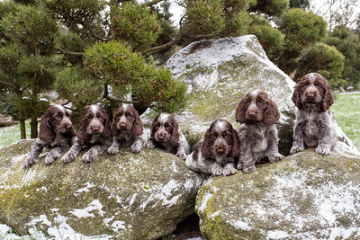 portrait of small puppies of English Cocker Spaniel
