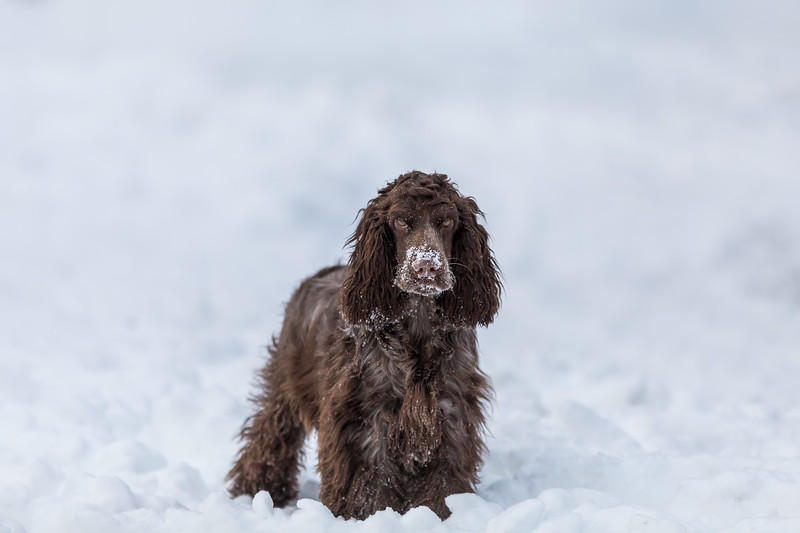 english cocker spaniel dog in snow winter