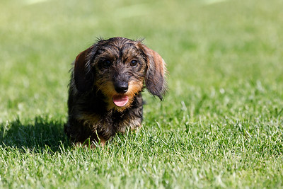 cute female of brown dachshund
