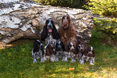 portrait of champions of English Cocker Spaniel family
