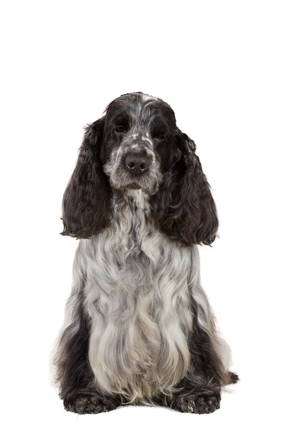 isolated portrait of english cocker spaniel