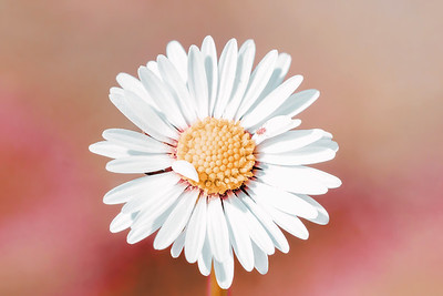 daisy flower with shallow focus