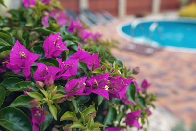 Violet bougainvillea flowers bloom