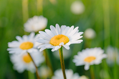 white marguerite flowers in meadow