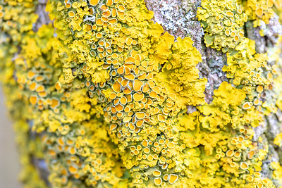 Yellow parasitic fungus on twig in winter