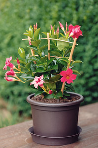 Flowering red Mandevilla rose Dipladenia