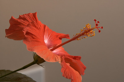 Red Hibiscus 1