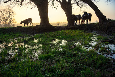 Cows at drinking pond