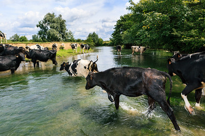 Cows crossing river